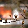 写真句:ゆりの木の実