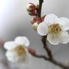 写真句:梅の香5:希望