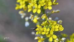 写真一行絵本:菜の花に花虻3