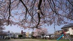 写真歌:街なか公園の桜2