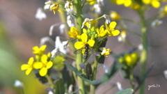 写真一行絵本:菜の花に花虻4