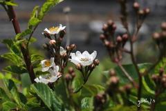 写真エッセイ:野茨の花