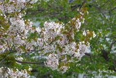 写真エッセイ:行く山桜2:投稿7周年を記念して
