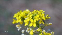 写真一行絵本:菜の花に花虻5