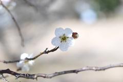 写真句:梅が香3
