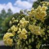 写真句:花二題の2:木香薔薇