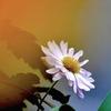 写真歌:野菊1