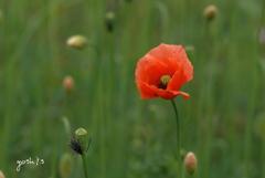 写真エッセイ:写真句:虞美人草1:緑野の紅