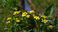 写真エッセイ:春の花たち8:地の花4:姫立金花