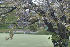 写真句:山桜