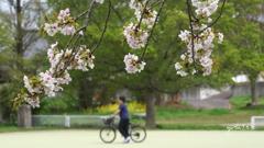 写真句:山桜追憶4