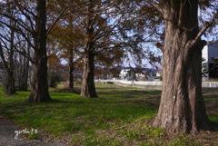 写真エッセイ:散歩道のメタセコイア林