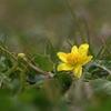 写真エッセイ:春の花たち4:地の花:姫立金花