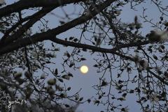 写真句:こぶし満月に踊る