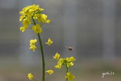 写真掌編:にほひをこせよ 番外:菜の花に蜂 by 佳夫 :写真歌