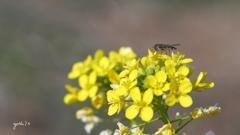 写真一行絵本:菜の花に花虻7