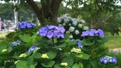 写真エッセイ:紫陽花