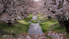 写真歌:観音寺川花堤2