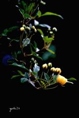 写真歌:木香薔薇4:希望の光