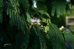写真句:合歓(ねむ)の花