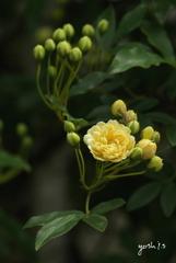 写真句:木香薔薇2
