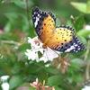 写真エッセイ:アベリアに蝶