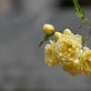 写真指編:木香薔薇3:君想ふ