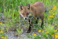 6月の子狐たち