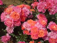 薔薇「ディズニーランド」