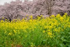 見沼田んぼの春II