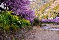 河津桜まつり④