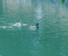 池でお散歩