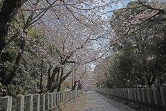 向日神社桜