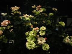 薔薇のアベニュー