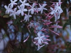 茉莉花の咲く季節