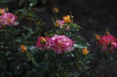 そして薔薇