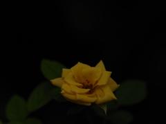 薔薇プレゼン