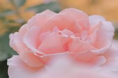よくがんばったので・薔薇