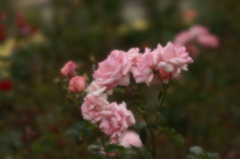 薔薇を見て想うこと