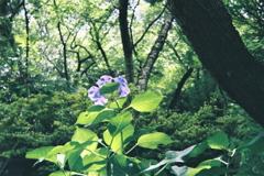 山紫陽花一輪咲