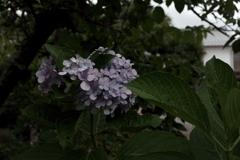 残花の紫陽花