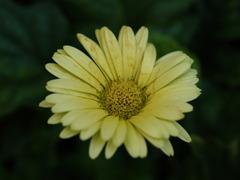 黄色っぽい花