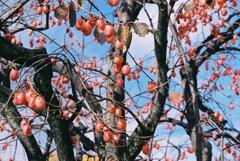柿の想い出
