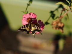 癒しが蝶々