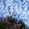 秋桜に秋空
