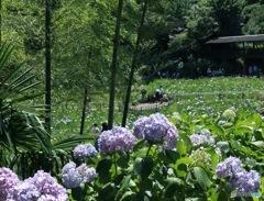 本土寺花菖蒲園