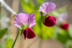庭のピンク その2