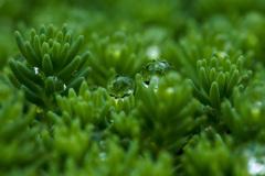 淡雪万年草 その1