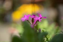庭のピンク その1