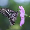 花蝶図 その2